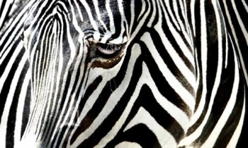 a-zebra-at-the-frankfurt--001