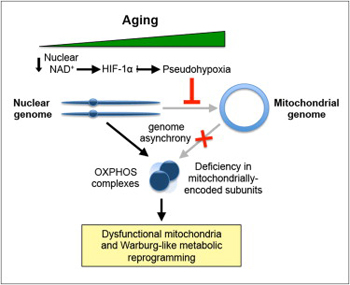 Anti Aging research graphical abstract