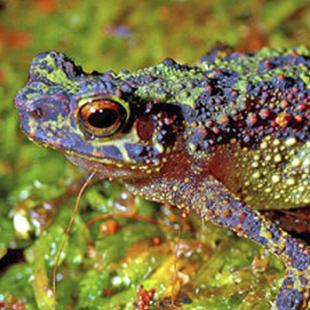 Malaysian Frog