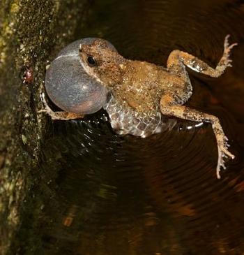 Tungara frog calling, large