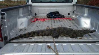 West African Crocodile in Florida