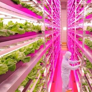 General Electric Japan Lettuce 310x