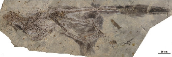 Feathered Dinosaur remains.