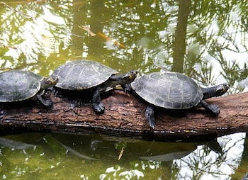 Amazon River Turtles