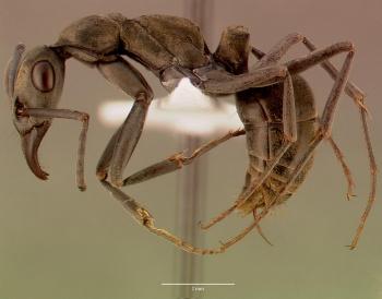 Gamergate ant
