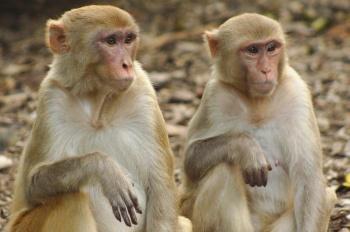 Rhesus Macaque Monkey 2