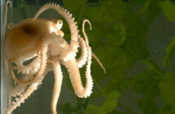 first-octopus-genome-sequencing-150814