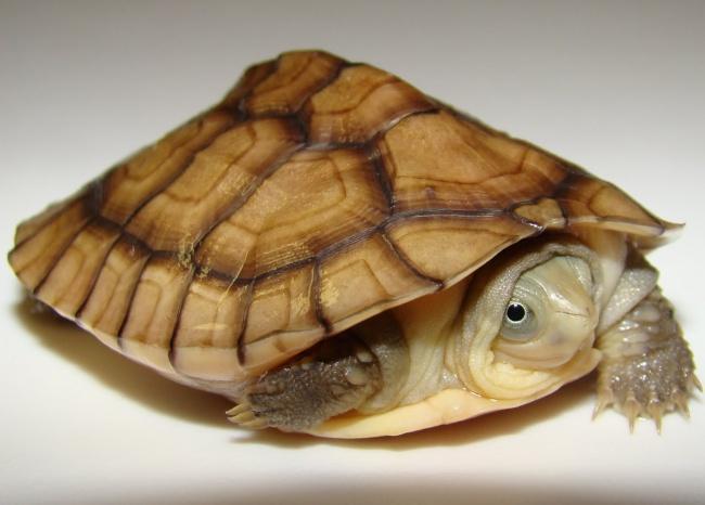 Okinawa Yellow Pond Turtle