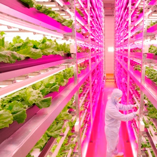 Japanese Future Lettuce