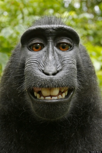 HuffPost Monkey Selfie