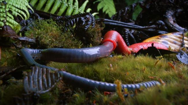 Kinabalu giant red leech